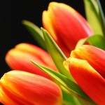 Beautiful-Tulip-Flowers-Pictures-And-Wallpapers25
