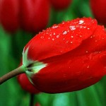 red_tulip_after_a_rain_shower